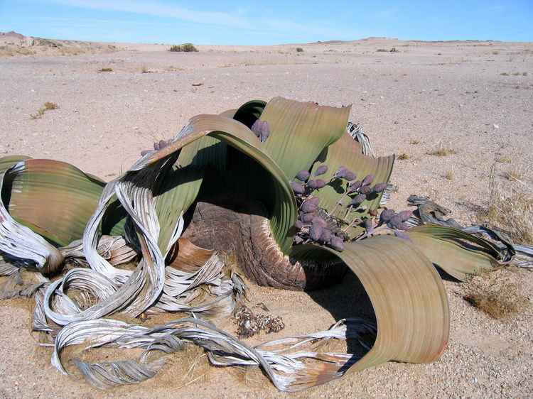Вельвичия удивительная – реликтовое дерево пустыни Намиб